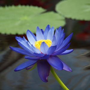 Blue lotus tea flower
